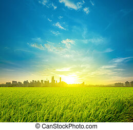 plantatie, akker, rijst, stad