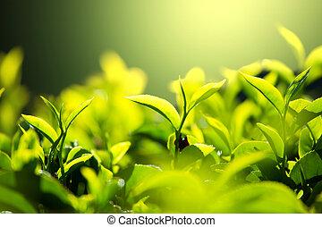 plantatie, thee
