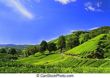 plantatie, velden, hoogland, cameron, thee