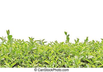 plantatie, vrijstaand, op, witte , thee, afsluiten