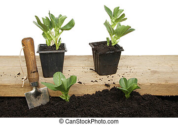 planten, brede boon