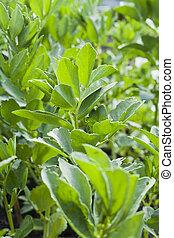 planten, garden., vicia, bloemen, -, boon, groente, breed, faba