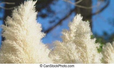 planten, luchtschommel, wind., pampas, 4k, verhuizen, gras, langzaam, slow-motion, veer, close-up, zilver, wind