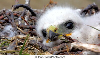pluizig, witte , prooi, nestling, vogels