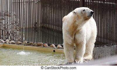 polair, witte , beer