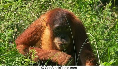 pongo, -, utan, orang, dierentuin