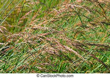 prairie gras, achtergrond