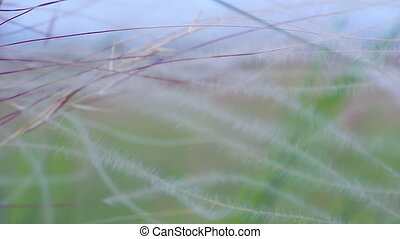 prairie gras, wind
