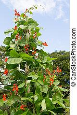 pronkboon, plant