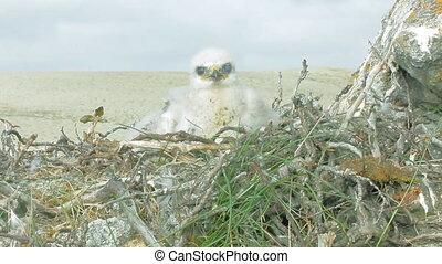 prooi, nest., ruw-legged, buizerd, nestling, vogels, novaya, zemlya, pluizig, witte