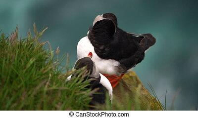 puffin, zeevogel, gezin, atlantische , iceland., auk, wild