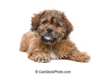 puppy, boomer