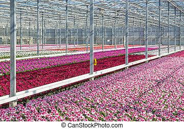 purpere bloemen, broeikas
