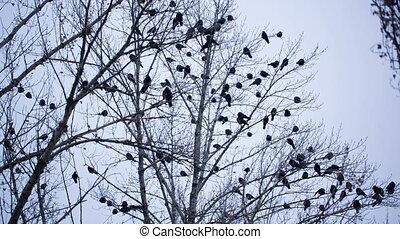 ravens, boompje
