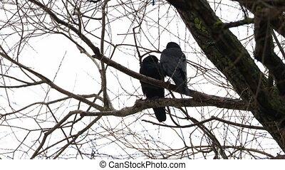 ravens, groot, een, boom., black , paar, zit, vogel, defecates.