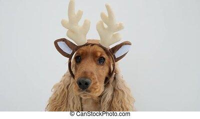 rendier, horns, spaniel, vervelend, cocker, dog
