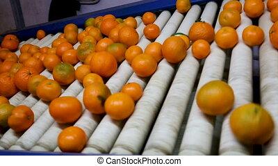 riem, conveyor, lijn, rijp, mandarijn, fabriekshal, sinaasappel, sorteren