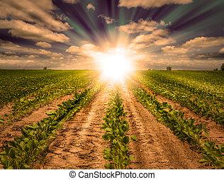 rijen, boerderij, machtig, oogst, akker, ondergaande zon , soybean