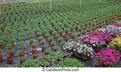 rijen, planten, broeikas, mensen, potten, nee, dimorfoteca
