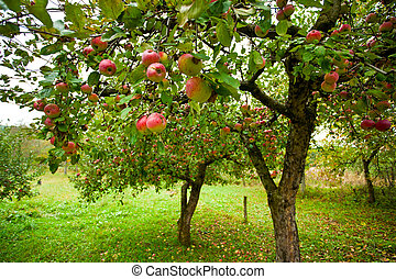 rode appel, bomen, appel