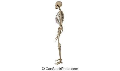 ronddraaien, mannelijke , skelet