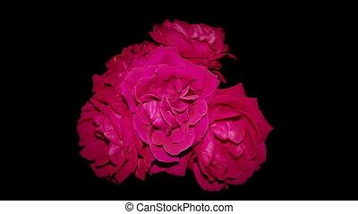 rood, sterven, rozen