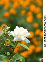 rose;, tuin
