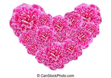 roze, hart, gemaakt, achtergrond., valentines, vrijstaand, rozen, witte , dag