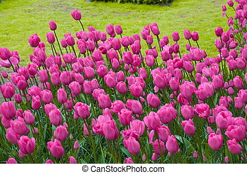 roze, holland, tulpen, lisse, park, kleurrijke, keukenhof