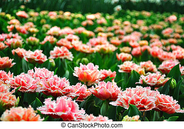 roze, holland, tulpen, park, blossing, keukenhof