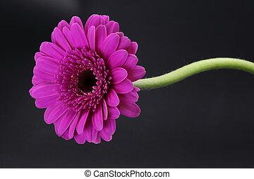 roze, vrijstaand, enkel, black , steel, gerbera