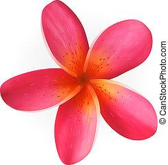 roze, witte bloem, vrijstaand, plumeria