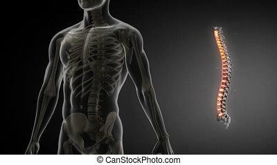 ruggegraat, anatomie, scanderen, medisch