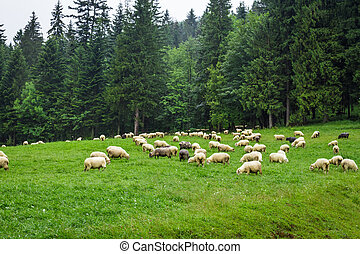 schaap, berg, heuvel, kudde