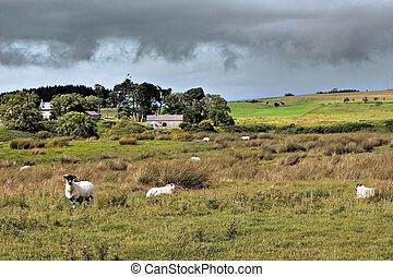 schaap boerderij, cumbrian