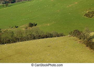 schaap, kavels, velden, uk., heuvel, wales, bovenkant