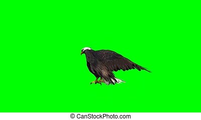 scherm, adelaar, -, groene, tussenverdieping, vlieg