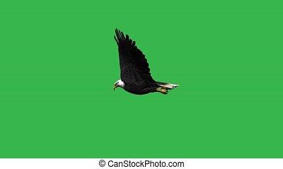 scherm, adelaar, -, groene, vliegen