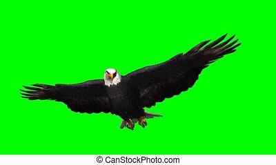 scherm, zweefvliegen, adelaar, -, groene