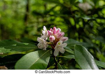 schijnwerper, bloem, rododendron