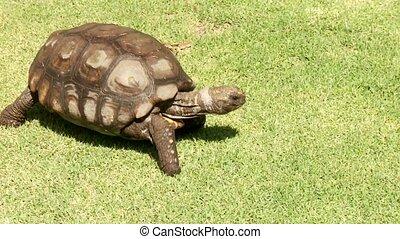schildpad, groot