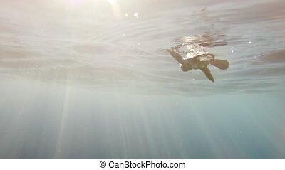 schildpad, zelden, ocean., beeldmateriaal, na, het binnengaan, baby, incredibly, zee