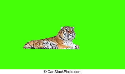 screen., moe, tiger, het liggen, groene