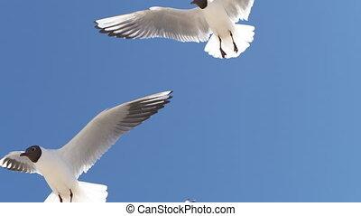 seagulls, slow-mo, -, close-up, 4k, sky.