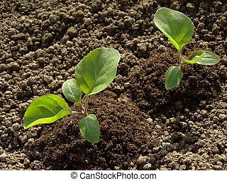 seedlings, aubergine