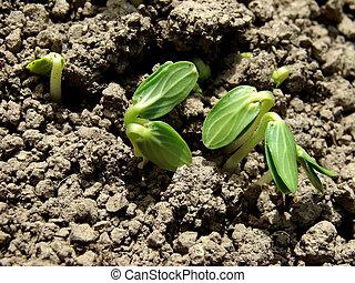seedlings, komkommer