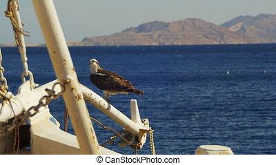 ship's, achtergrond, osprey, tegen, boog, mast, prooi, zee, zit, marine vogel, rood