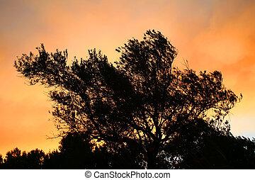 silhouette, olive, ondergaande zon , boompje