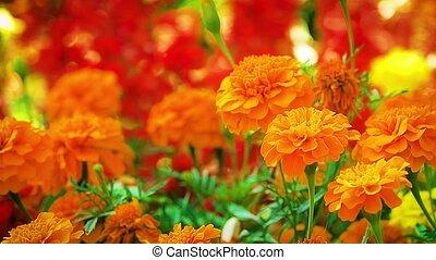 sinaasappel, goudsbloem, bloem