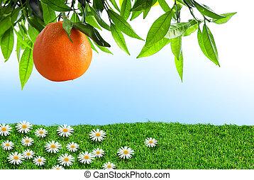 sinaasappel, lente